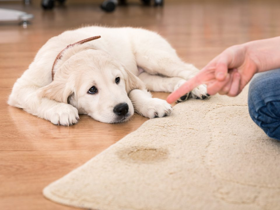Hoffman Carpet Cleaning - Pet Urine and Rugs